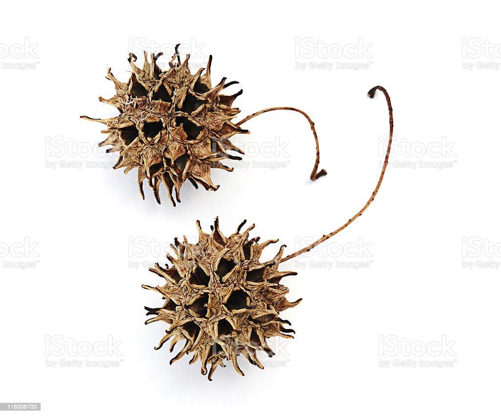 Macro image of sweetgum seed pods. royalty-free stock photo