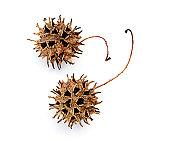 Macro image of sweetgum seed pods.