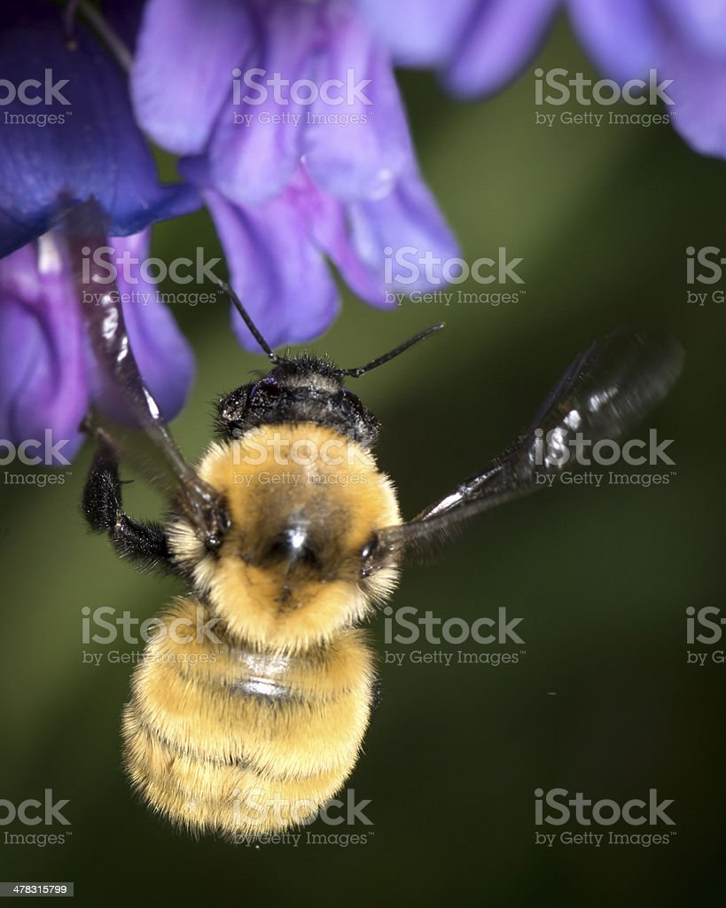 Macro Insect American Bumble Bee (Bombus pensylvanicus) Landing royalty-free stock photo