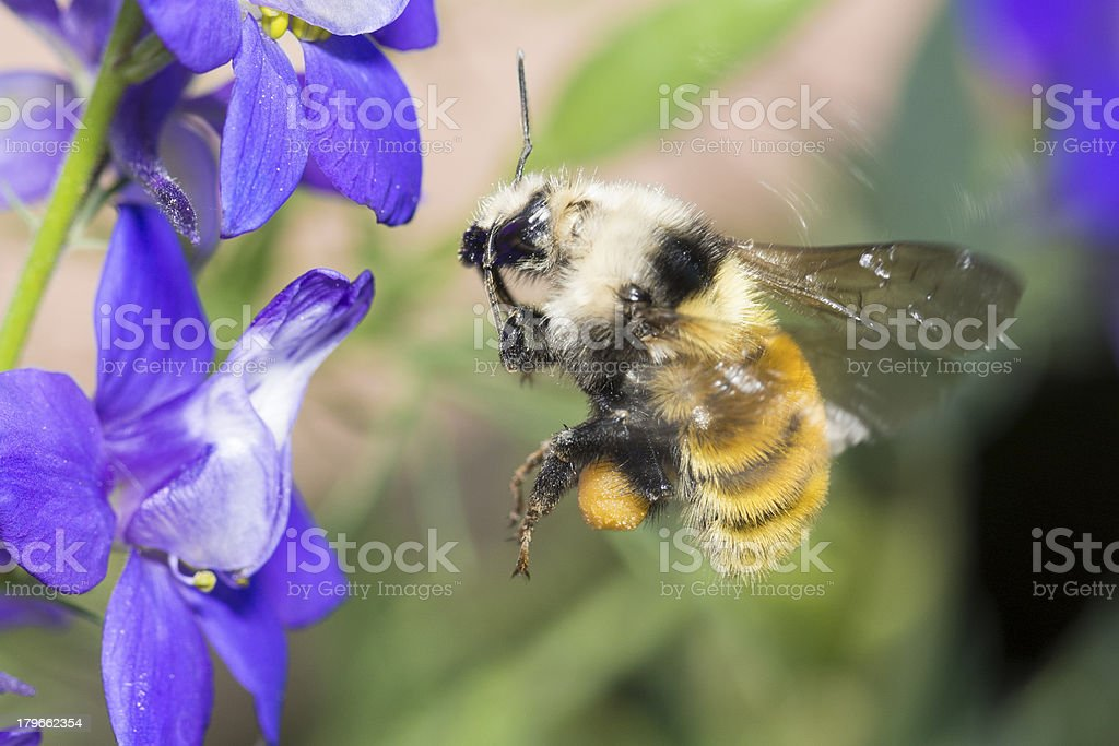 Macro Insect American Bumble Bee (Bombus pensylvanicus) Pollinating Flower royalty-free stock photo