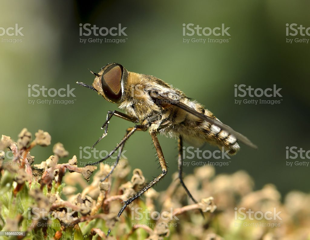 Macro Insect Bee or Moth Mimic Fly stock photo