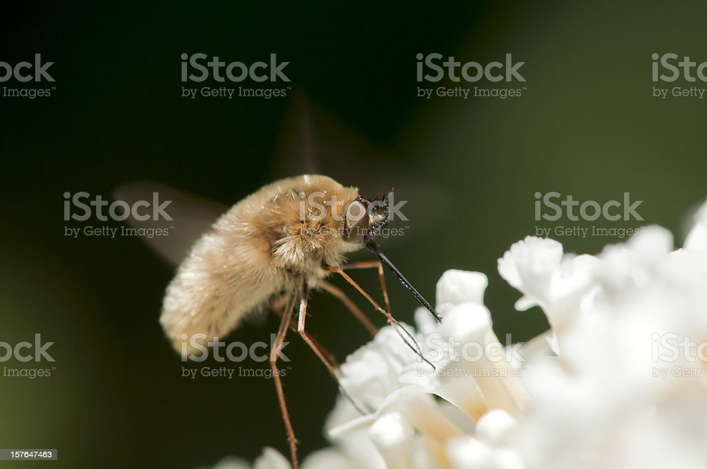 Macro Insect Bombyliidae Bee Fly Mimic Drinking White Flower Nectar stock photo