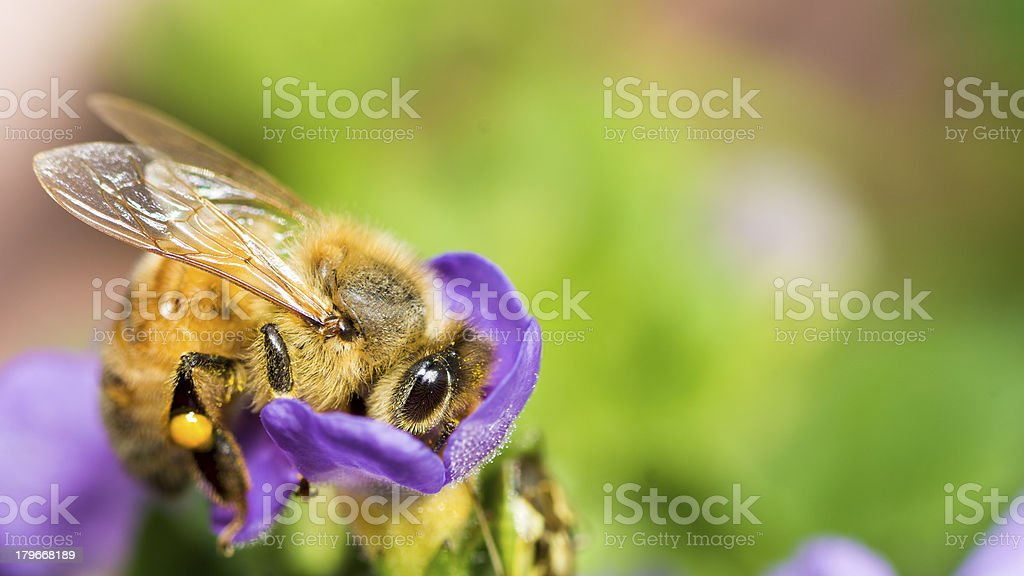 Macro Insect Honey Bee (Apis mellifera) on Purple Flower royalty-free stock photo