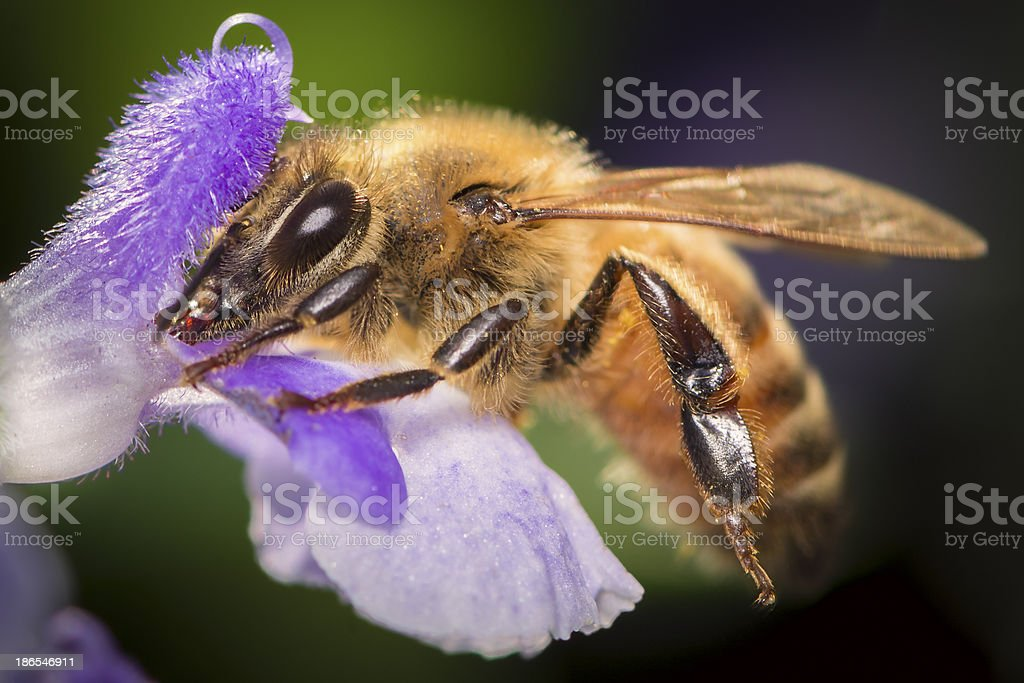Macro Insect Honey Bee (Apis mellifera) on Purple Flower royalty-free stock photo