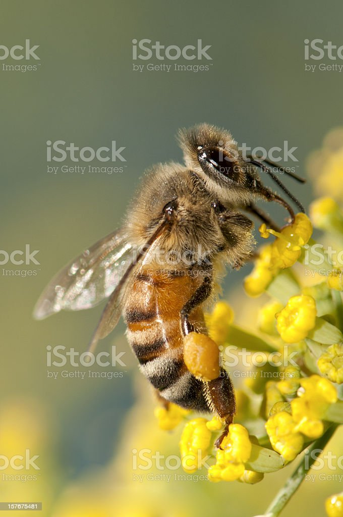 Macro Insect Honey Bee (Apis mellifera) on Yellow Flowers royalty-free stock photo