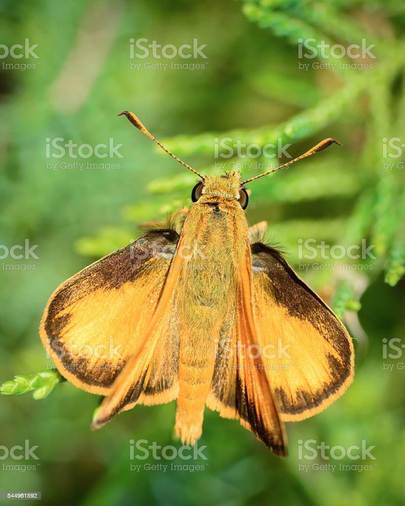 Macro Insect Peck's Skipper Moth (Polites peckius) stock photo