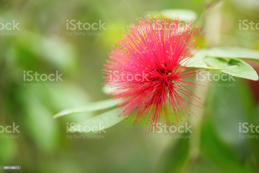 macro mimosa pudica flower stock photo