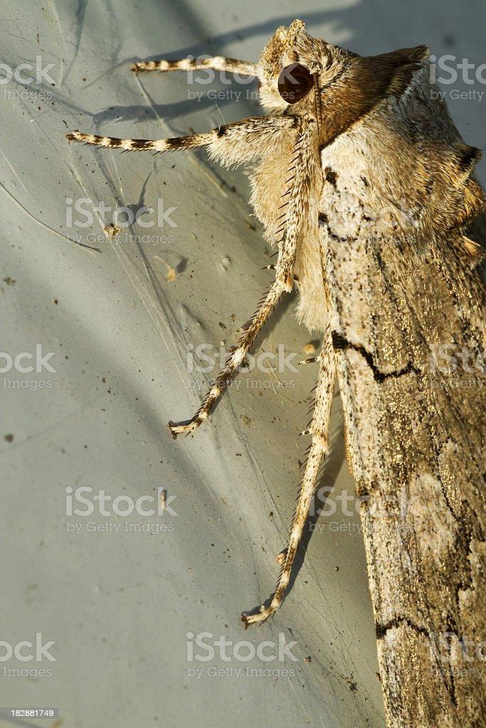 Macro Moth royalty-free stock photo