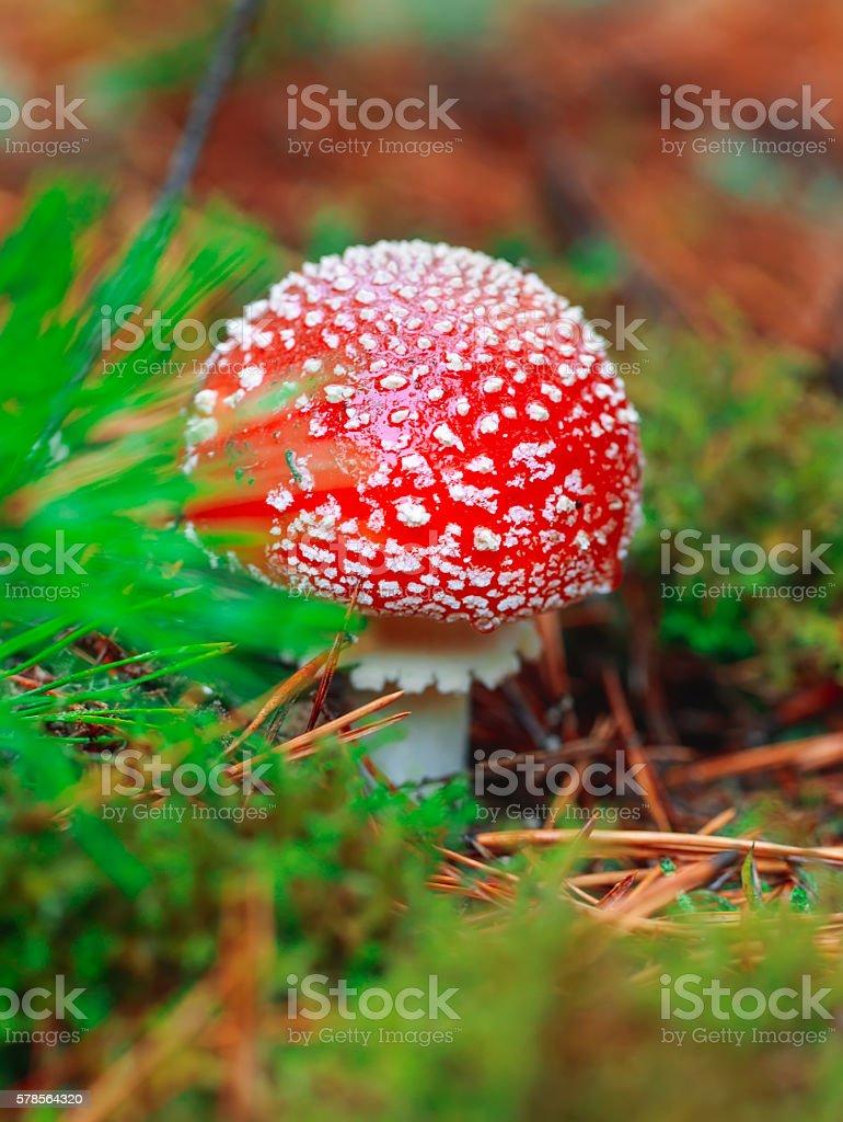 Macro natural vibrant background, amanita mushroom. stock photo
