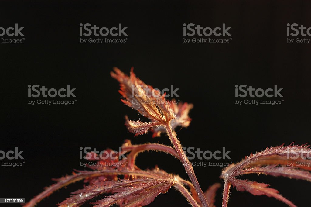 Macro New plant growth of red maple with black background stock photo