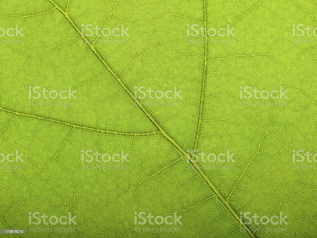 Macro Oak leaf springtime royalty-free stock photo