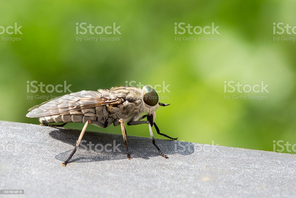 Macro of a blood sucking fly stock photo