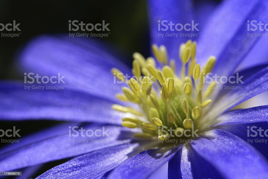 Macro of a blue anemones royalty-free stock photo