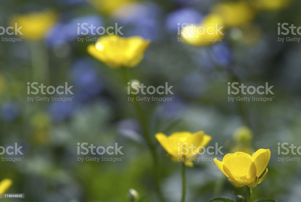 Macro of a buttercup flower stock photo