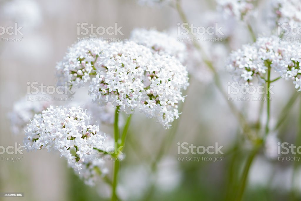 Macro of a common valerian stock photo