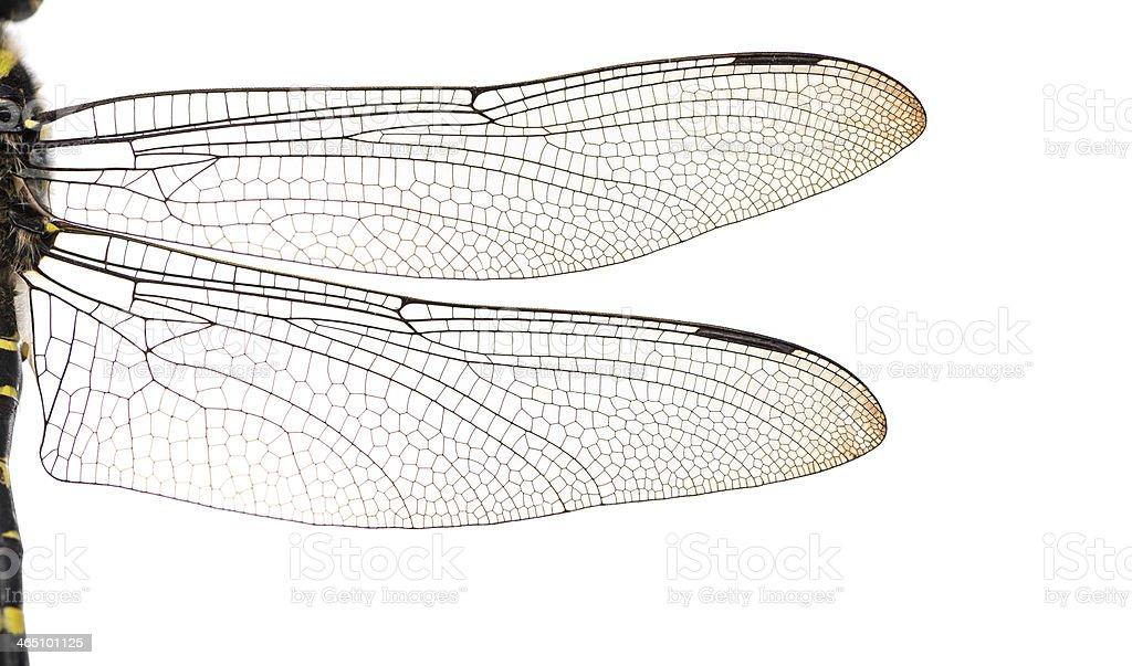 Macro of a Cordulegaster bidentata's wings, isolated on white stock photo