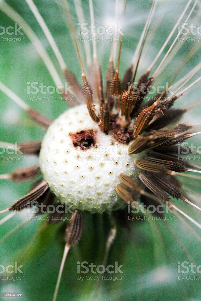 Macro of a dandelion flower royalty-free stock photo