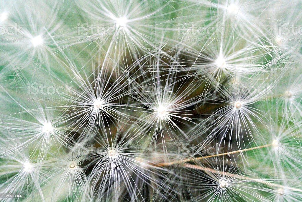 Macro of a dandelion royalty-free stock photo