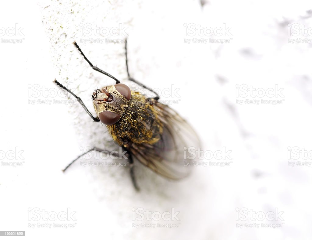 Macro Of A Dung Fly stock photo