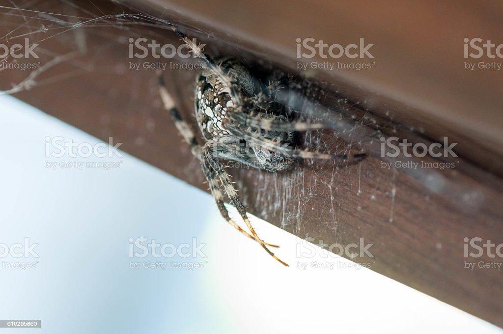 Macro of a European garden spider stock photo