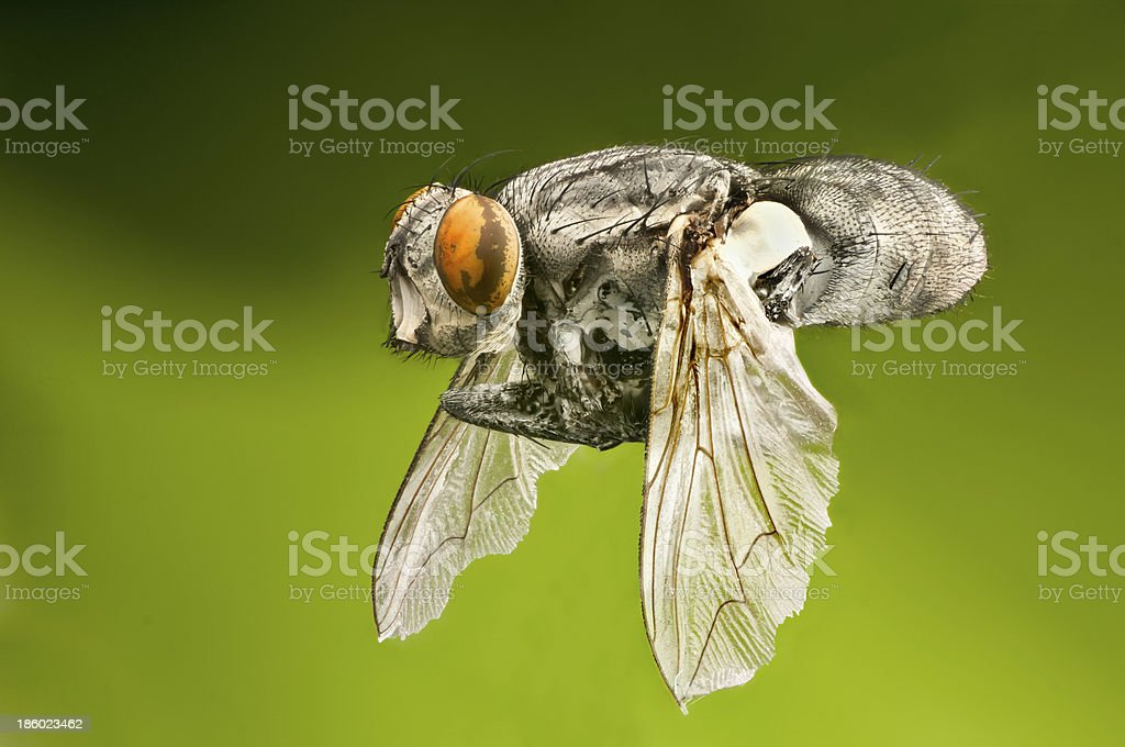 Macro of a flying fly royalty-free stock photo