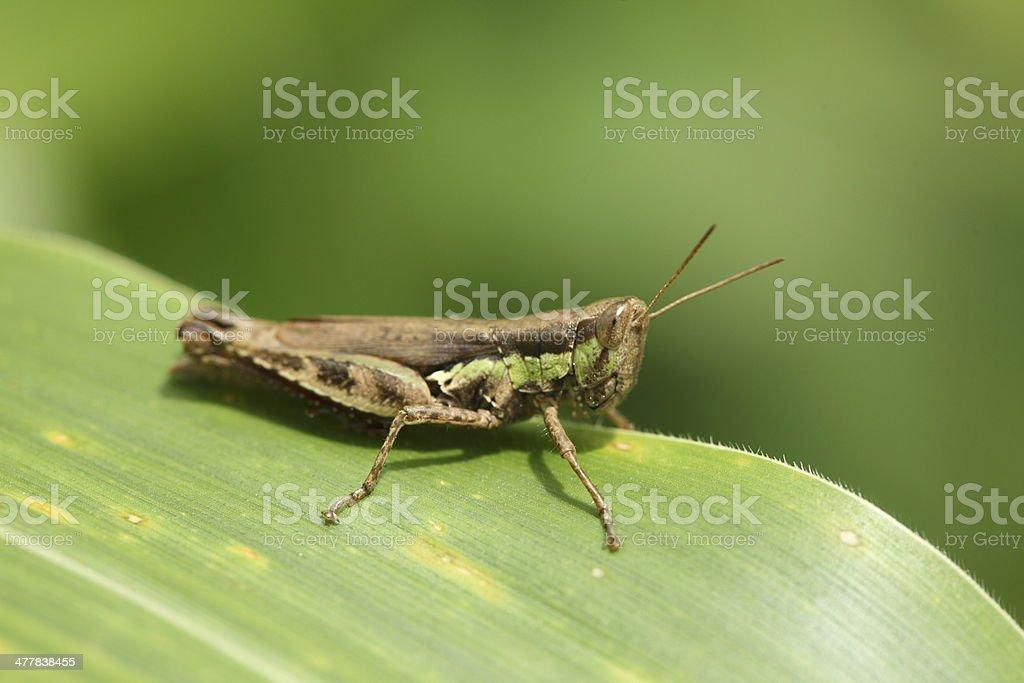 macro of a grasshopper royalty-free stock photo