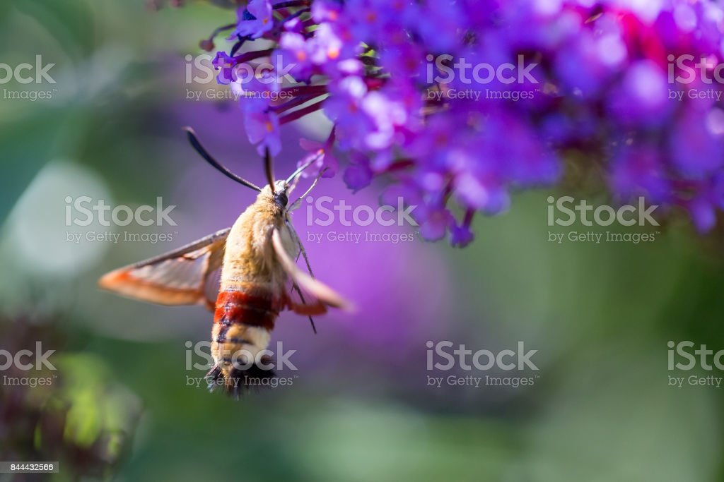 macro of a hummingbird hawk-moth on a flower from the side stock photo