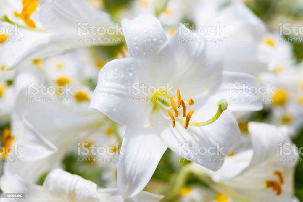 Macro of a Madonna Lily stock photo