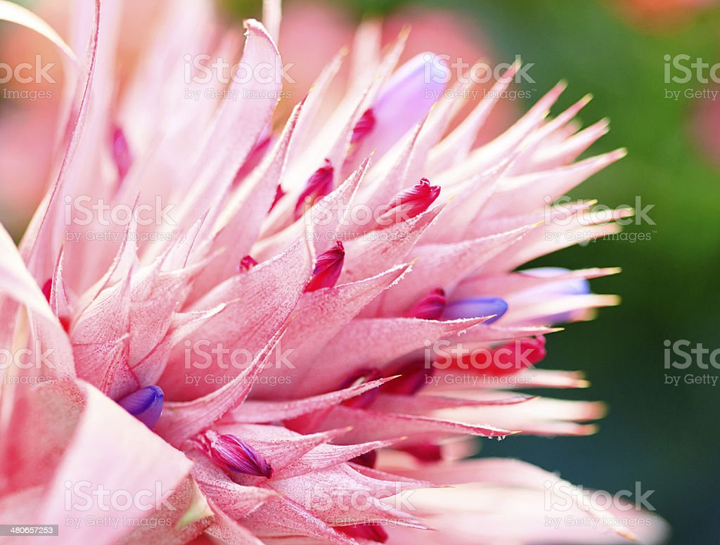Macro Of A Pink and Purple Bromeliad In Bloom stock photo