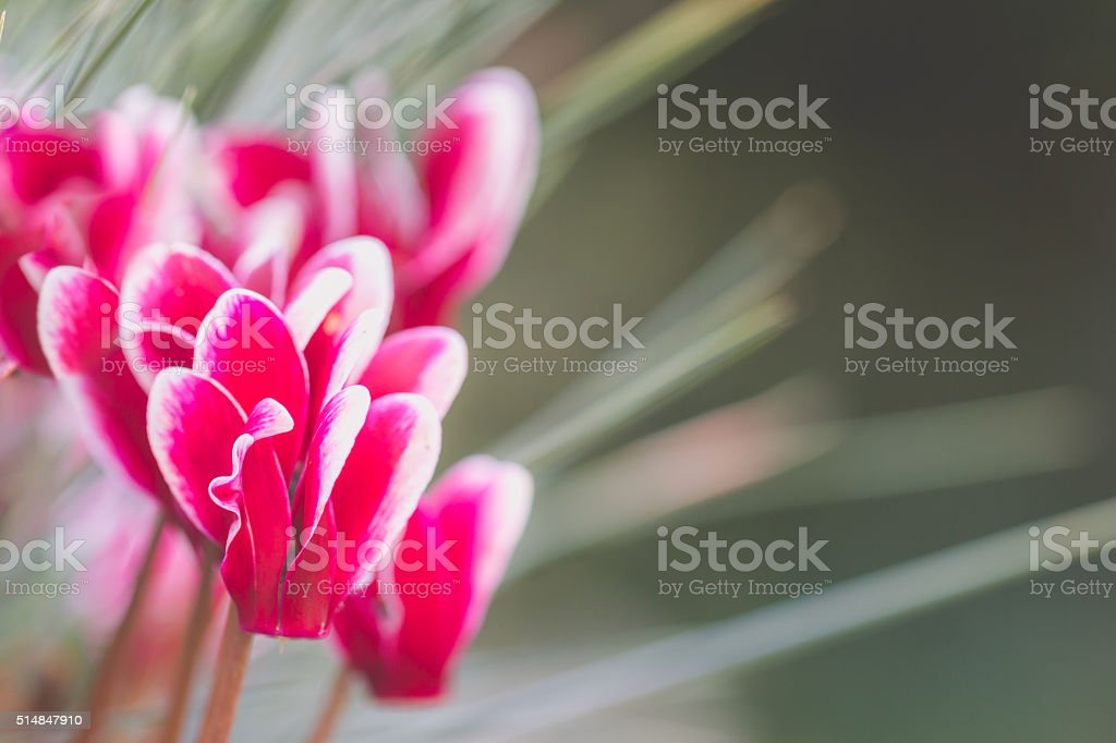 Macro of a pink cyclamen stock photo