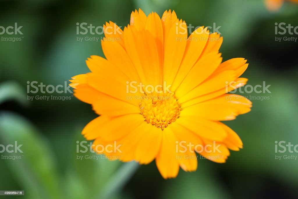 Macro of a pot marigold stock photo