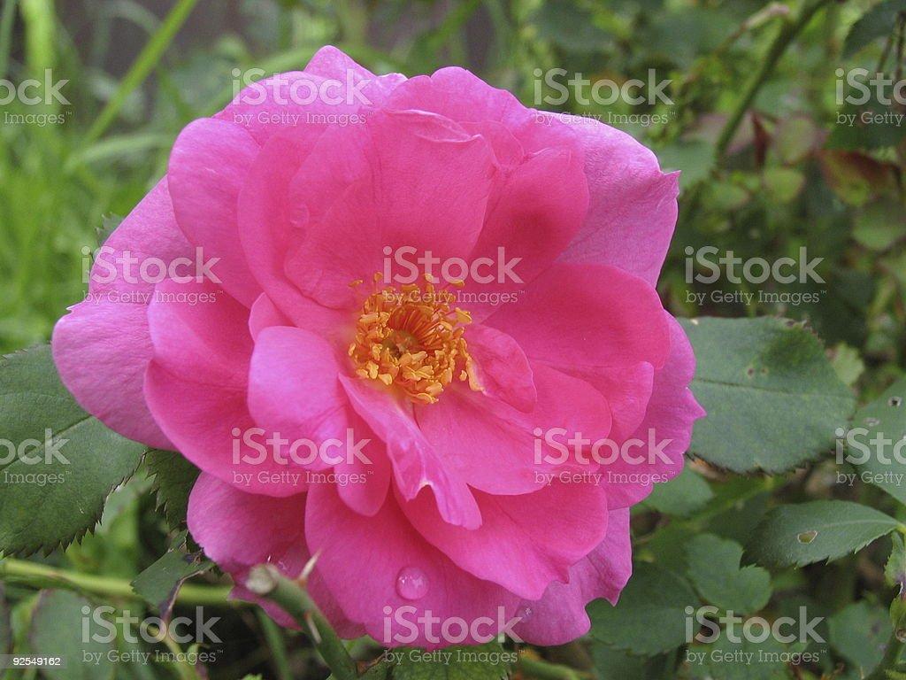 Macro of a single pink Rose stock photo