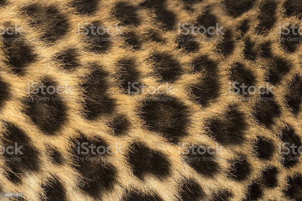 Macro of a Spotted Leopard cub's fur - Panthera pardus royalty-free stock photo