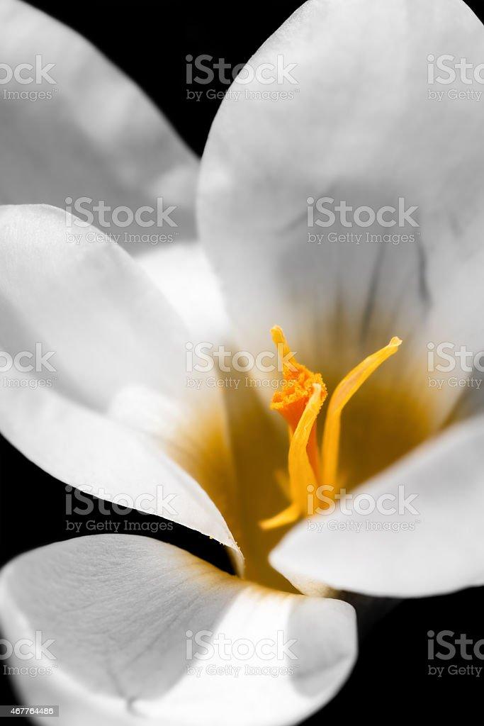 Macro of a white saffron crocus yellow pistil flower stock photo