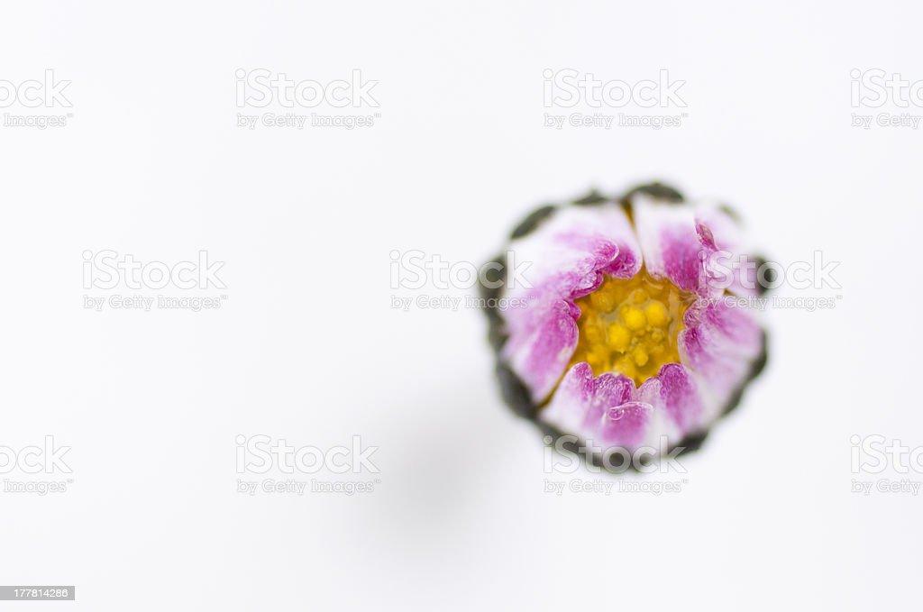 macro of a wild daisy in the snow royalty-free stock photo
