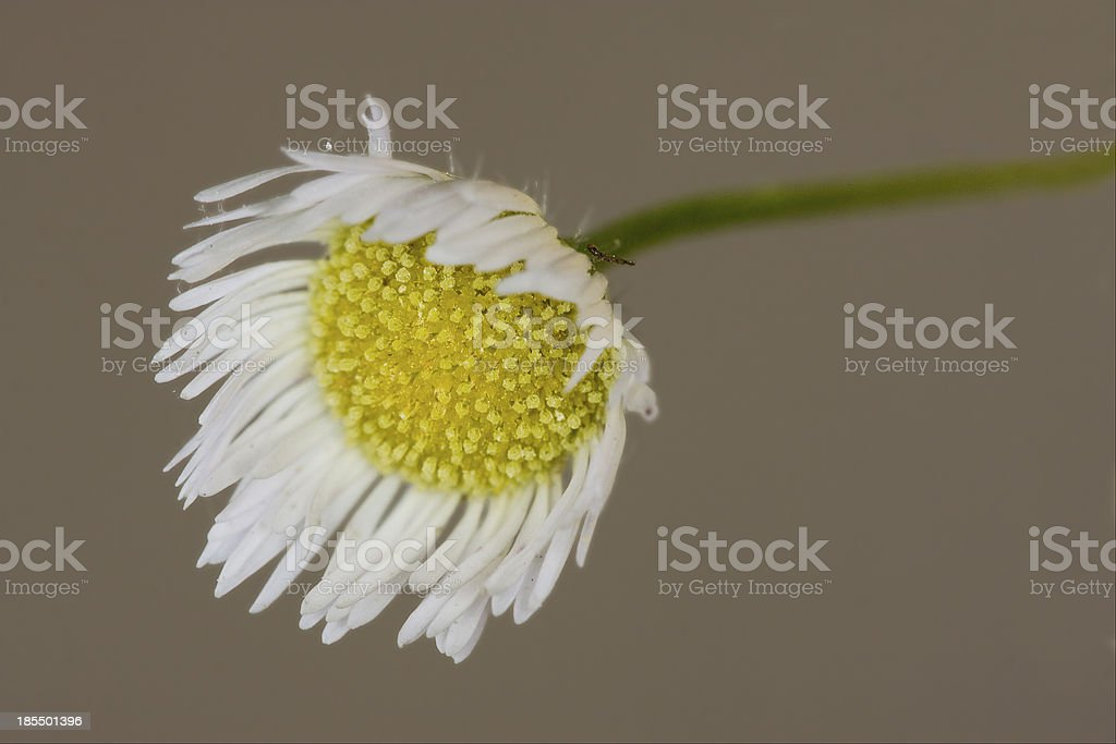 macro of a yellow white daisy royalty-free stock photo