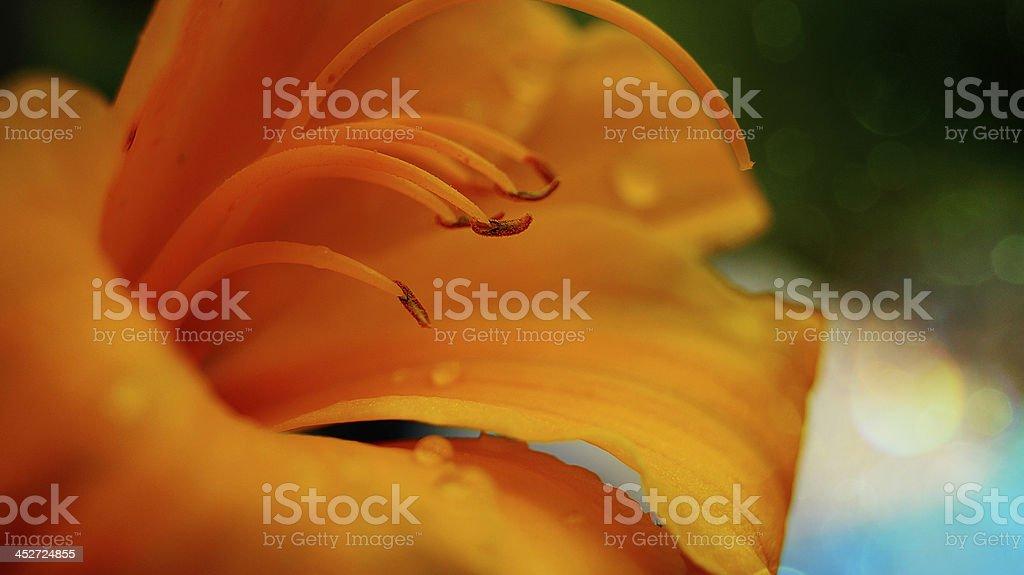 Macro of amarylis royalty-free stock photo