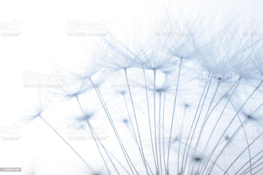 macro of an overblown fluffy dandelion stock photo