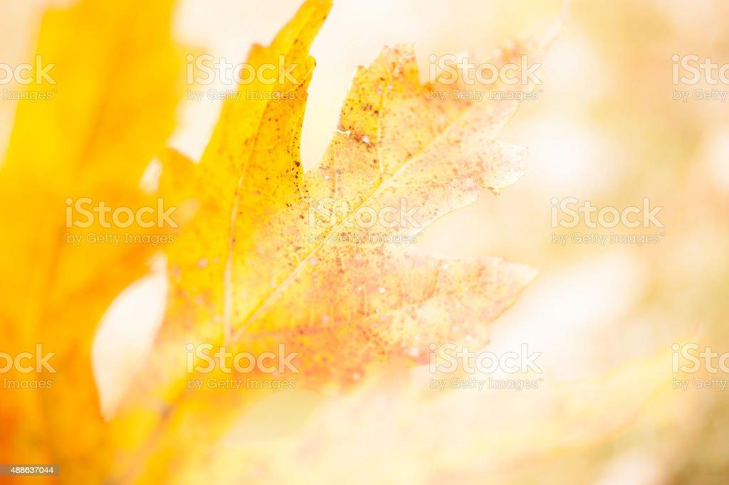 Macro of autumn oak tree leaf. Red, yellow, orange. Close-up. stock photo