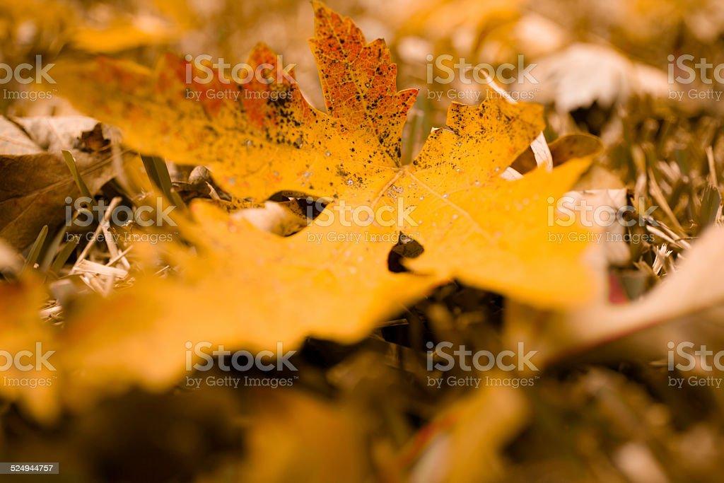 Macro of autumn oak tree leaves. Red, yellow, orange. Close-up. stock photo