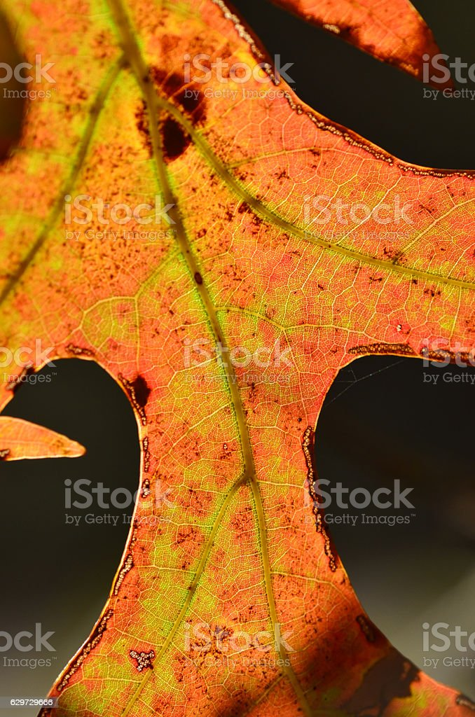 Macro of backlit oak leaf with fall colors and veins stock photo