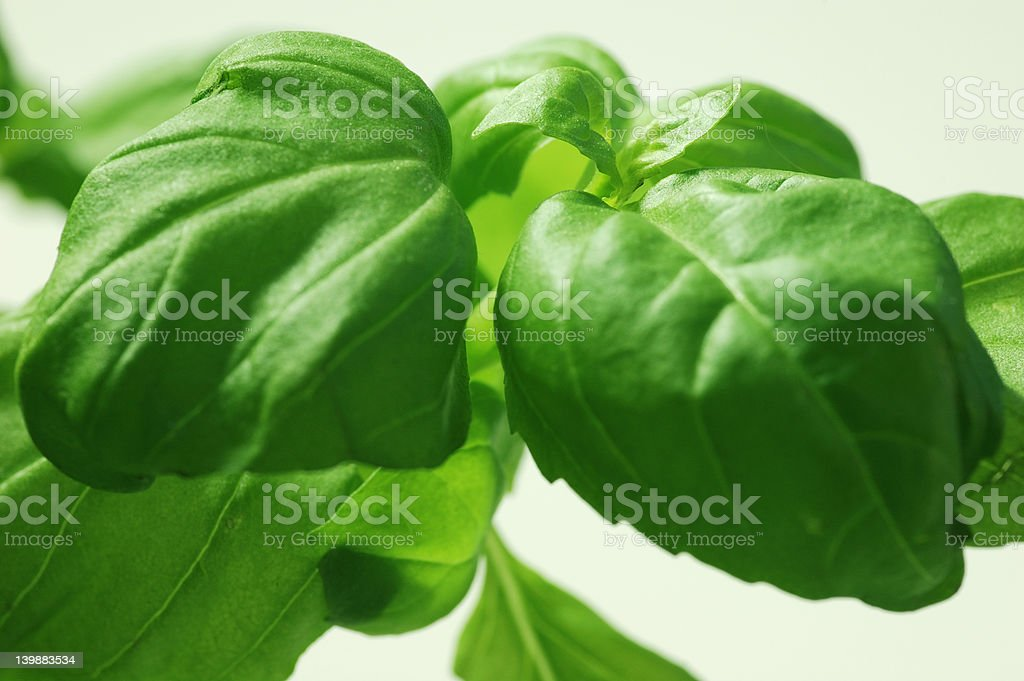 macro of basil leafs royalty-free stock photo