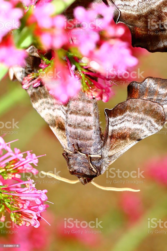 Macro of beautiful brown Poplar Hawk-Moth butterflies copulating in nature stock photo