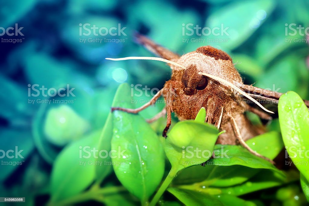 Macro of beautiful brown Poplar Hawk-Moth butterfly on boxwood leaves stock photo