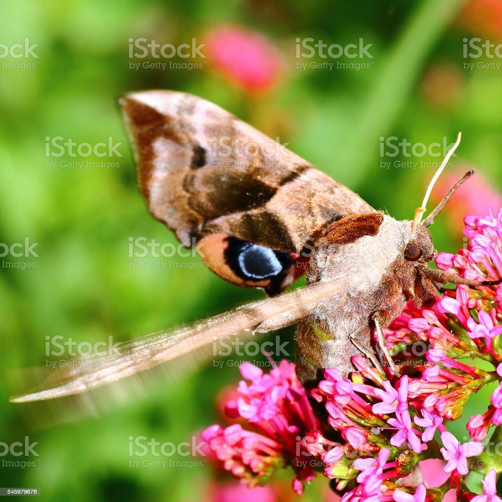 Macro of beautiful brown Poplar Hawk-Moth butterfly on Valerian flower stock photo