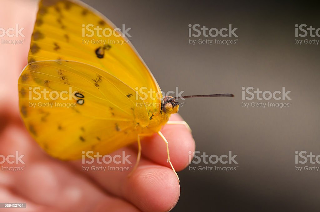 macro of beautiful yellow butterfly sitting on the child hand stock photo