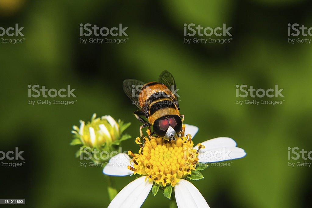 Macro of Bee on flower royalty-free stock photo