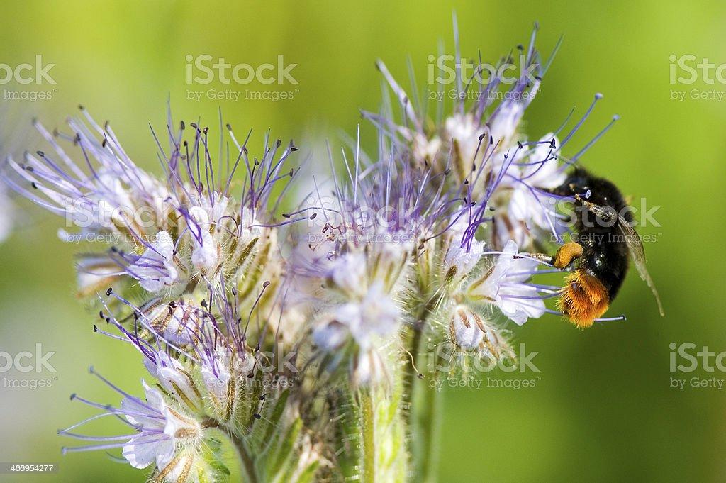 Macro of Bee on Phacelia Flower. royalty-free stock photo