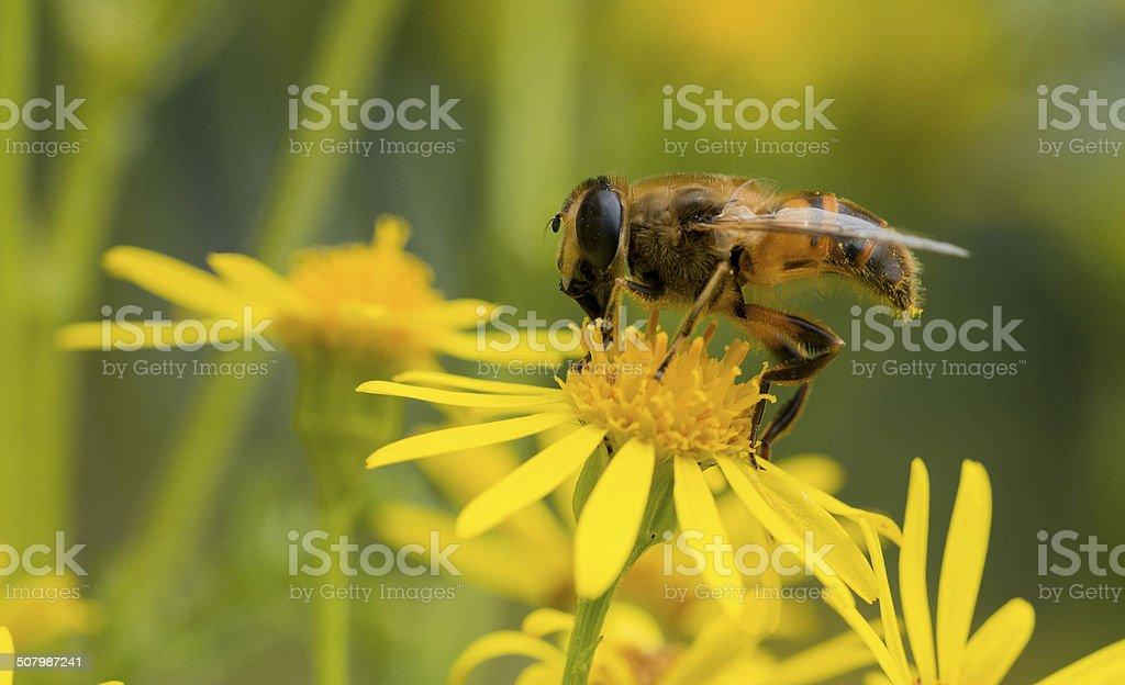 macro of bee on yellow flower stock photo