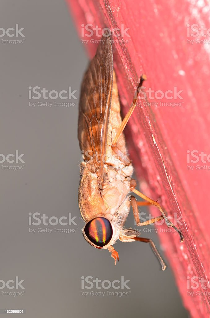 Macro of biting Fly resting on painted red wood stock photo
